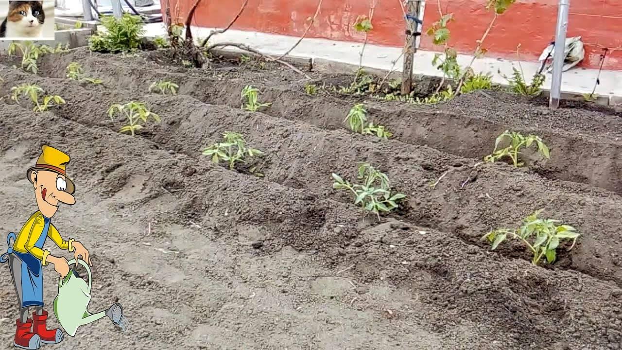 Глубокая посадка помидоров поможет со слабой рассадой – ставка на «случайные» корни! — agroxxi