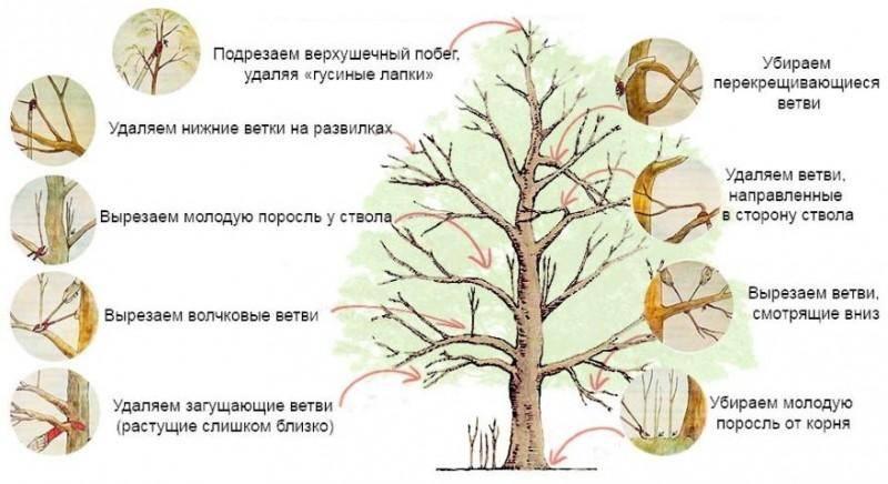 Обрезка (формирование) черешни летом: после плодоношения, схема, как правильно обрезка (формирование) черешни летом: после плодоношения, схема, как правильно