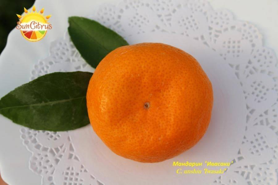Особенности мандарина уншиу - дача мечты