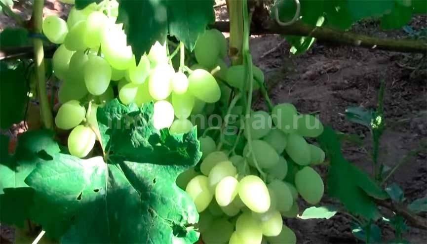 Зарница: описание сорта винограда и особенности выращивания