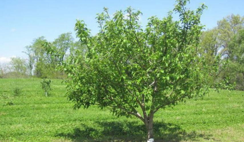 Яблоня коваленковское: описание и характеристики сорта, посадка, выращивание и уход