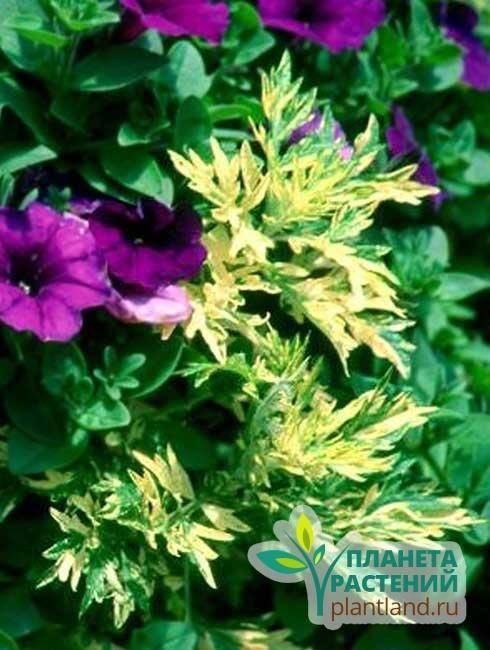 Полынь как украшение цветника - наше фермерство