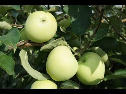 Яблоки белый налив: описание сорта, фото, отзывы