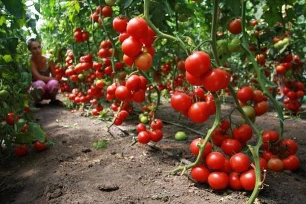 "Томат ""благовест"" f1: описание и характеристики сорта, фото помидор русский фермер"