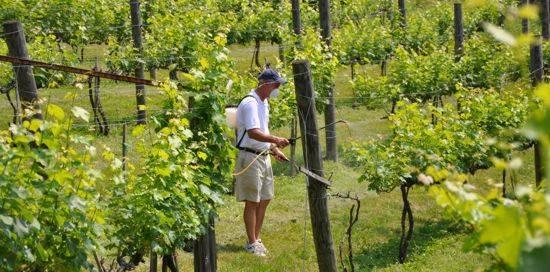 Обработка винограда весной - 3 этапа+19 проверенных препаратов