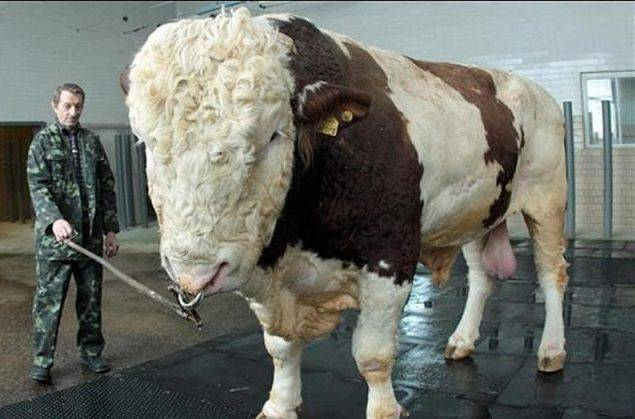 Содержание быков производителей | кормление быков | нормы кормления