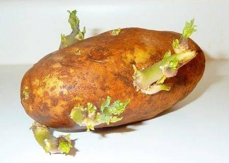 Через сколько дней всходит картофель после посадки в различных регионах страны