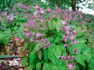 Горянка крупноцветковая: лечебные свойства, трава для открытого грунта