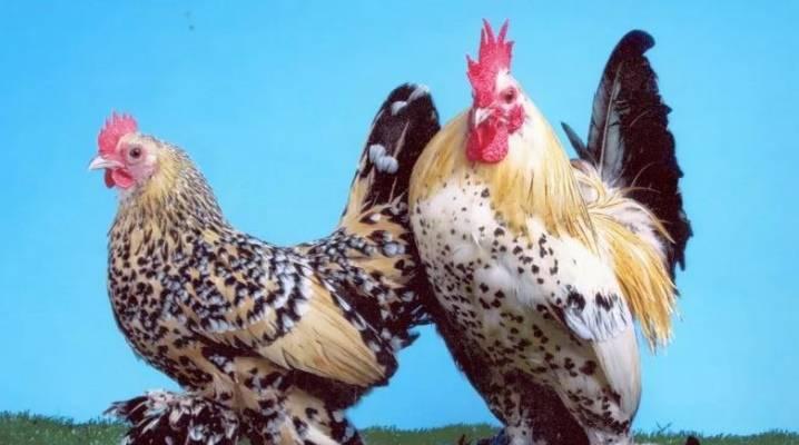 Мини мясо порода кур. куры мини-мясные — палевые, описание породы