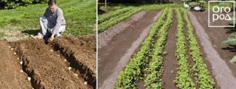 Как правильно посадить картофель, чтобы вырастить хороший урожай: инструкция от а до я