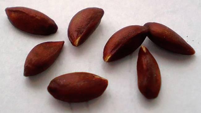 Семечки яблок - польза и вред для здоровья организма