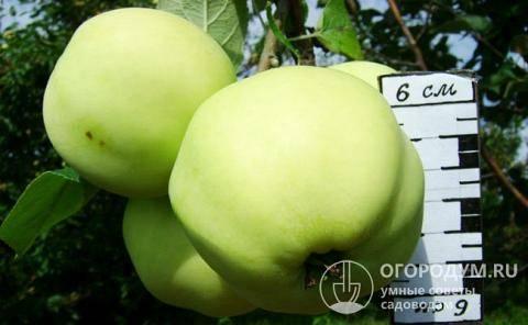 Описание сорта яблони папировка: фото яблок, важные характеристики, урожайность с дерева