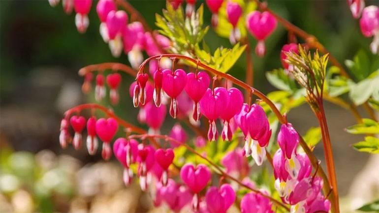 Дицентра — фото, посадка и уход в открытом грунте, виды, сорта цветка с названиями