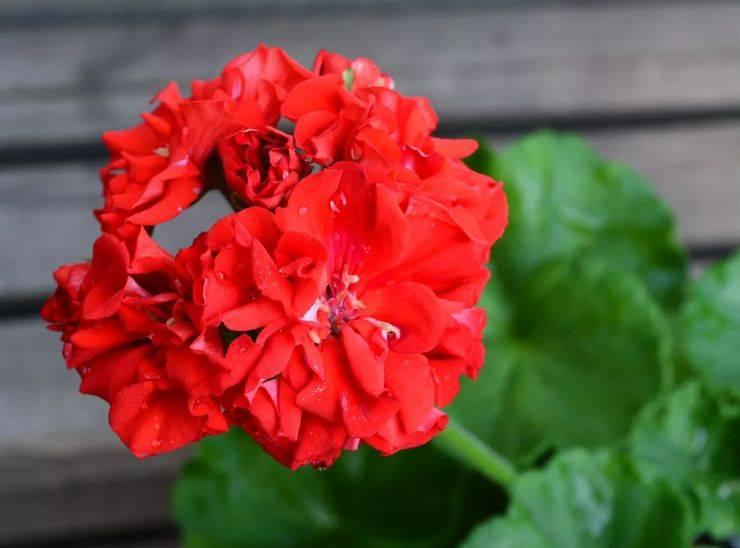 Пеларгония зонартик: внешний вид и особенности растения, сорта, посадка, выращивание и размножение в домашних условиях, а также вредители и болезни selo.guru — интернет портал о сельском хозяйстве