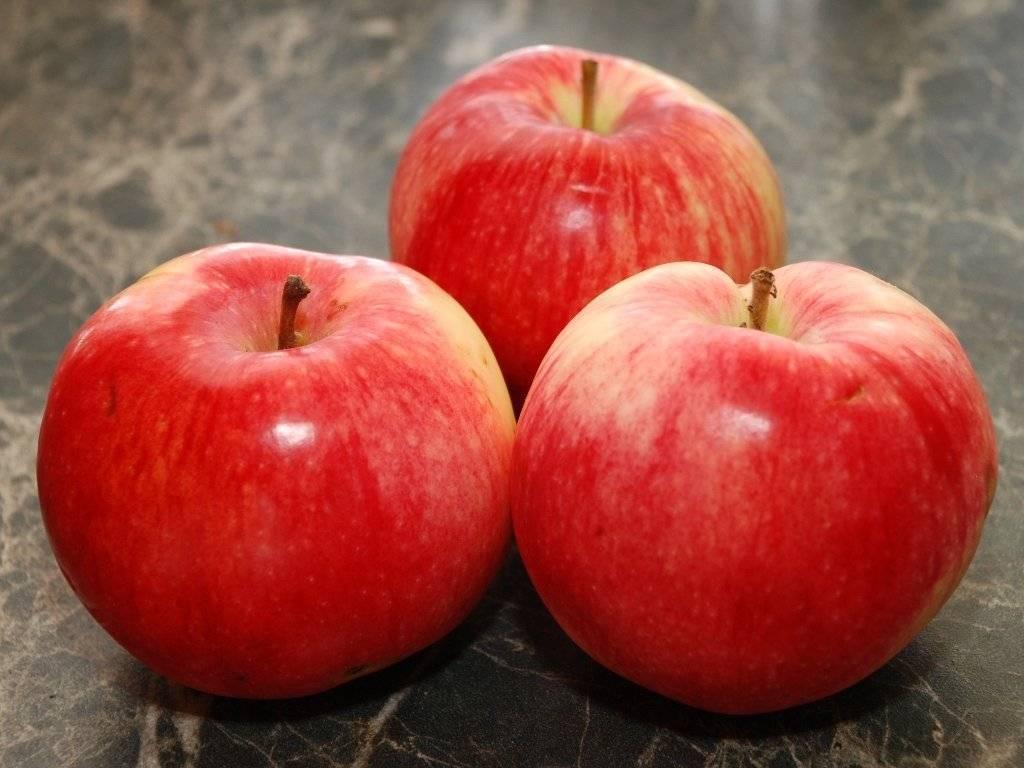 Описание и посадка яблони услада - блог фермера