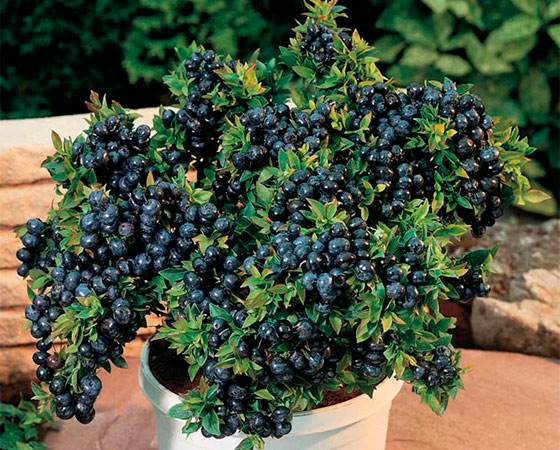 Лучшие сорта черники - сад и огород