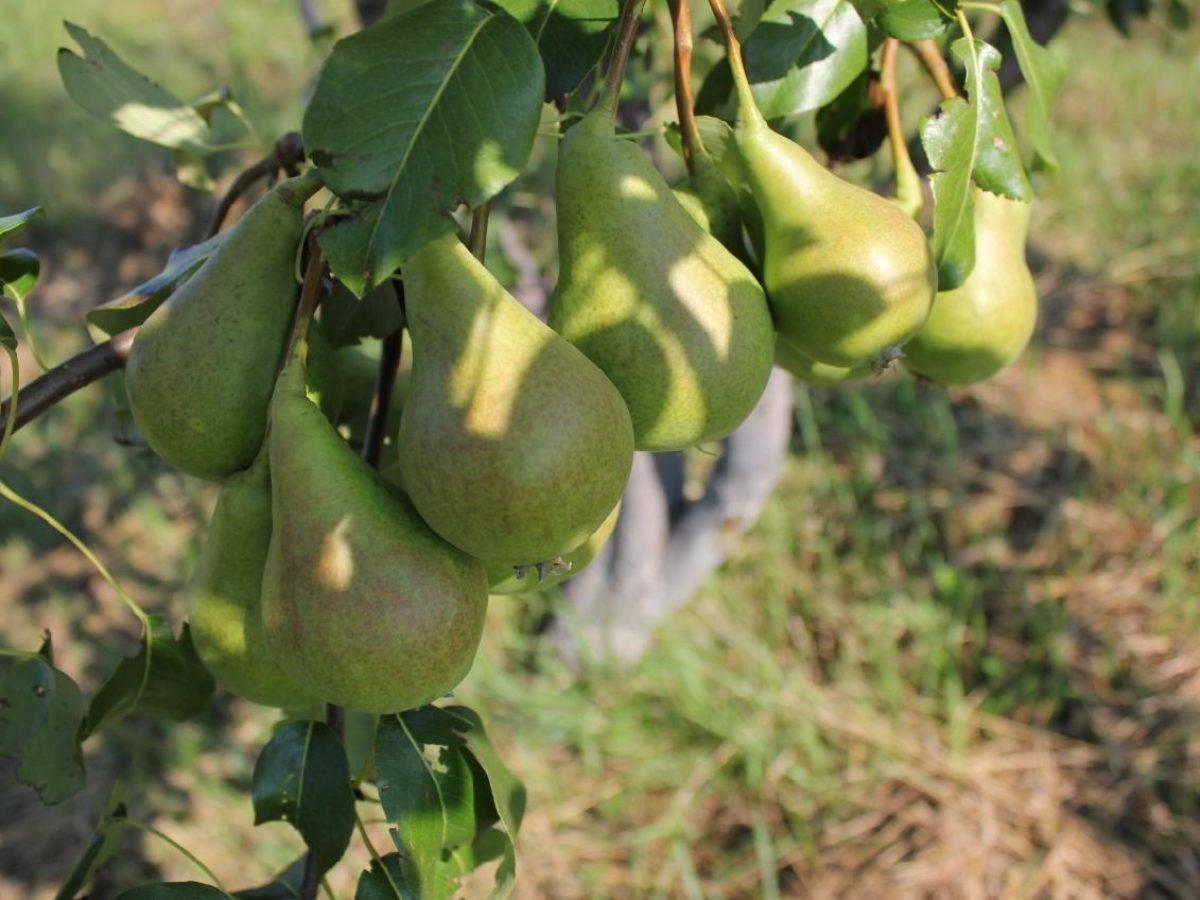 Груша лада: описание и характеристика морозоустойчивого сорта