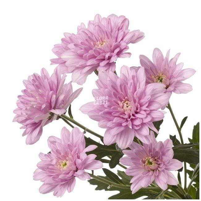 Уход за хризантемой бакарди
