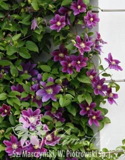Клематис хания: описание, топ правила выращивания, фото сорта