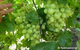 Виноград виктор: описание сорта, фото, отзывы садоводов, видео