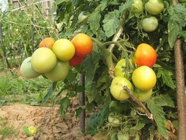Универсальный сорт помидор «ляна»