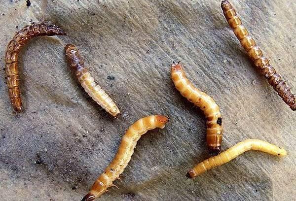 Как бороться с проволочником на картофельном поле и в огороде? простые методы