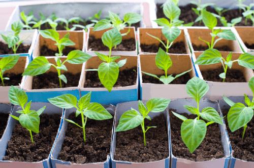 Перец острый: выращивание из семян, когда сажать, как вырастить хорошую рассаду, уход после прорастания русский фермер