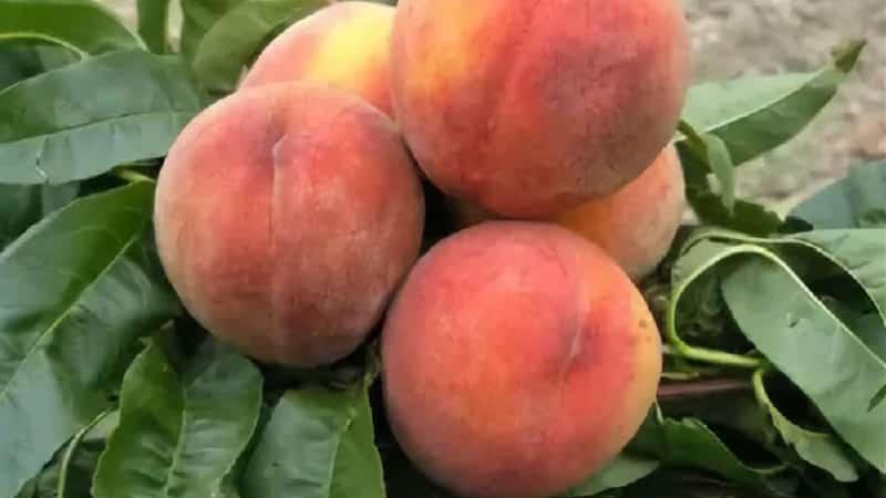 Персик колоновидный: лучшие сорта с фото, названием и описанием для всех регионов россии