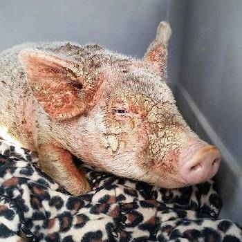 Чесотка у свиней: лечение, симптомы, фото
