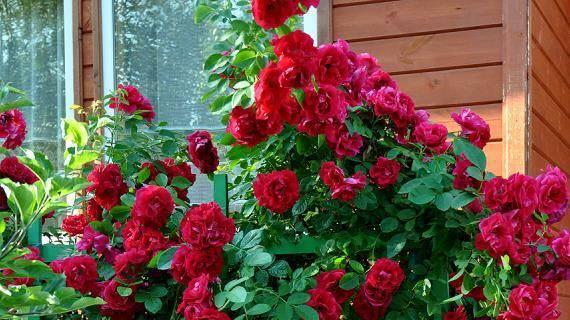 Как укрыть плетистую розу на зиму? 66 фото как укрывать ее в подмосковье? уход за плетистой розой осенью. как правильно подготовить ее к зиме?