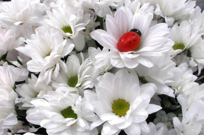 Белая хризантема сорта мультифлора, бакарди, сантини, шаровидная и ромашковая
