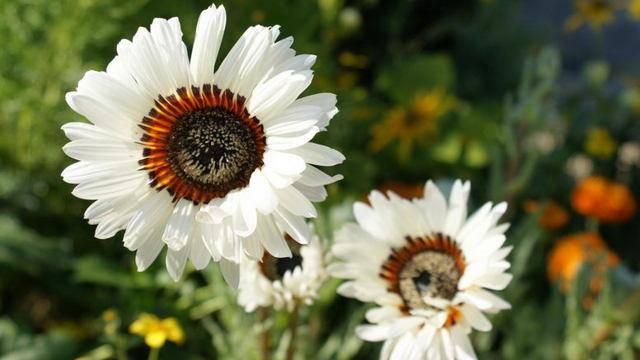 Венидиум: выращивание из семян, посадка и уход в открытом грунте, фото