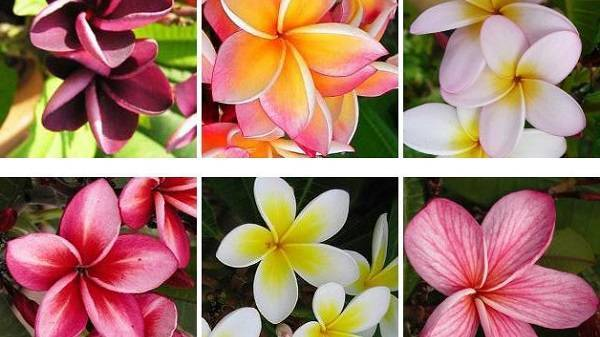 Плюмерия - волшебный аромат в вашем доме, или как вырастить цветок