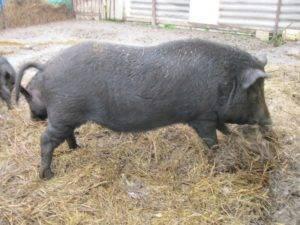 Свиньи кармалы — как содержать, выращивать и ухаживать за породой