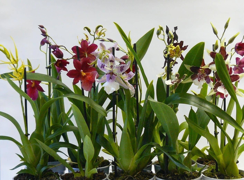Камбрия: уход в домашних условиях, полезные рекомендации по выращиванию цветка