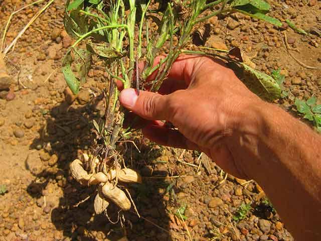 Как вырастить арахис на даче: полезные свойства и противопоказания
