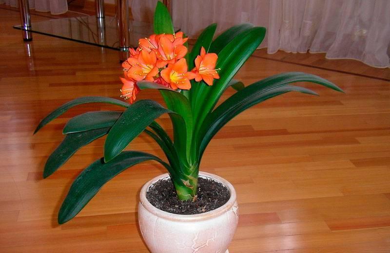 Кливия киноварная (миниата, оранжевая): полное описание, уход в домашних условиях и фото selo.guru — интернет портал о сельском хозяйстве