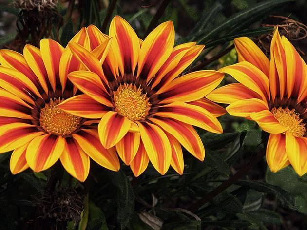 Цветет до морозов гацания. выращивание, посадка и уход. фото — ботаничка.ru