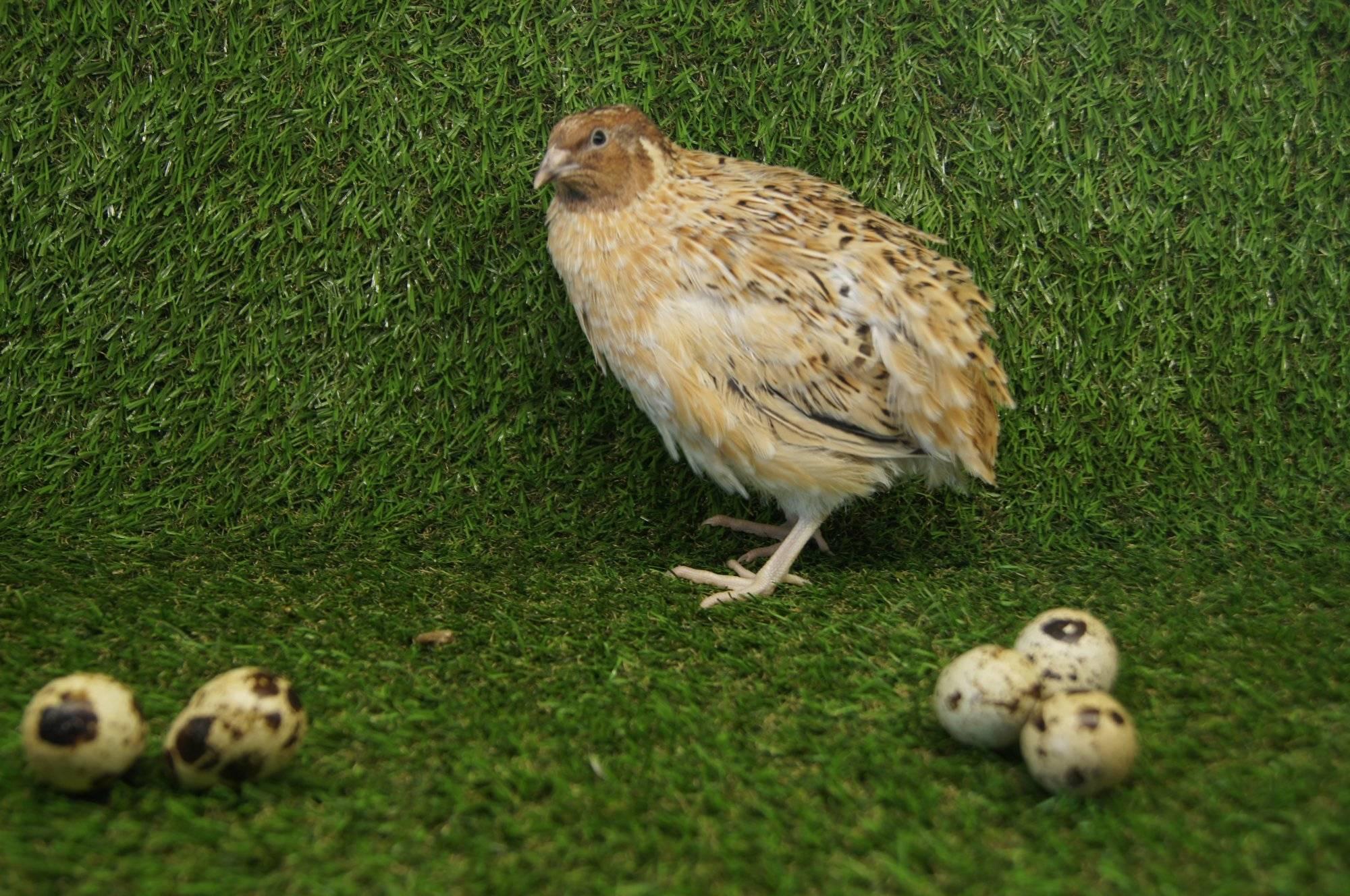 Маньчжурские перепела: описание породы, фото, когда начинают нестись, яйценоскость, как отличить самку от самца
