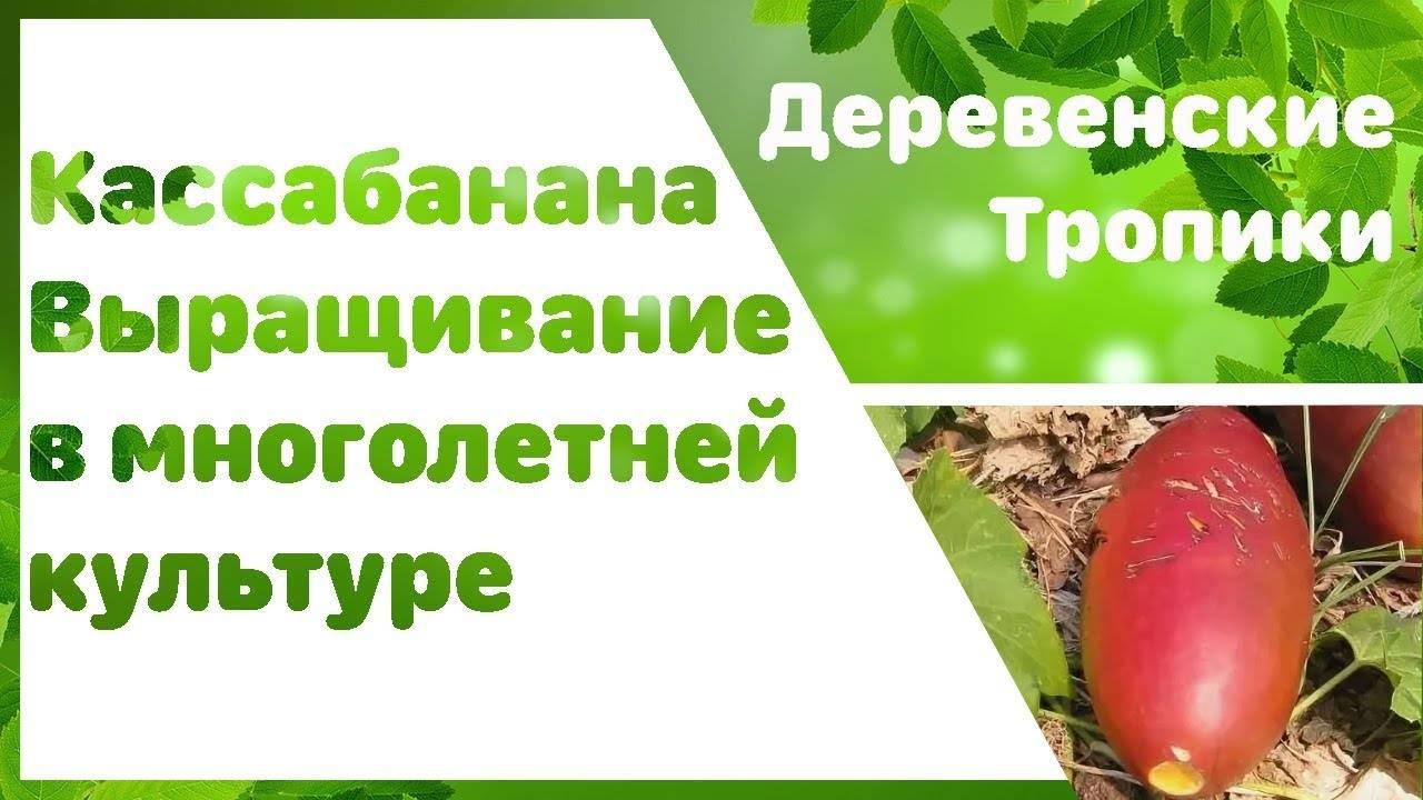 Катананхе выращивание из семян в открытом грунте полив пересадка