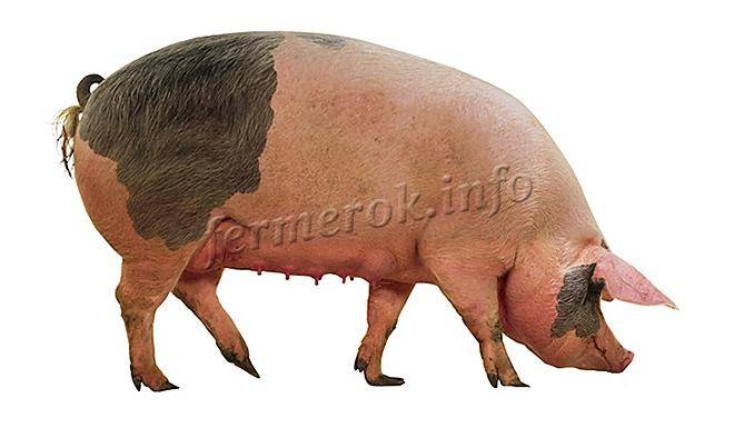 Сальные породы свиней: описание, фото, характеристики