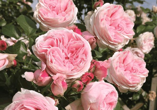 Обрезка роз на зиму: как все сделать без ущерба для растения?