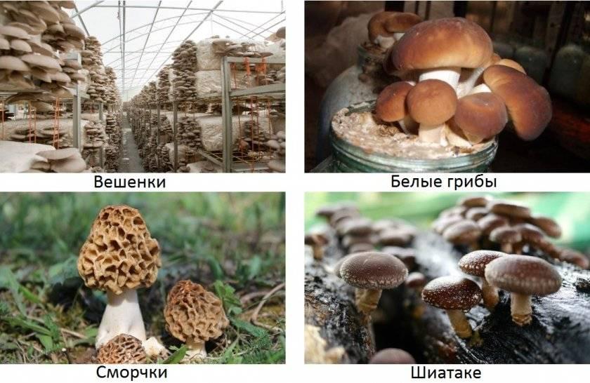 Выращивание белых грибов в теплице