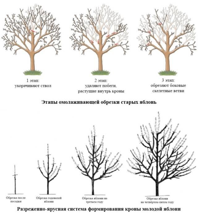 Обрезка яблони: когда ее можно правильно делать, в том числе весной, в каком месяце обрезать зимой, сроки