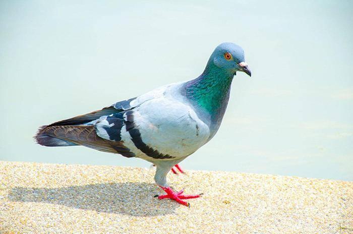 Вертячка (болезнь ньюкасла) у голубей: симптомы и лечение, опасна ли для человека