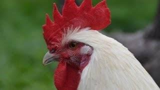 Характеристика бресс гальской породы кур, ее особенности и фото