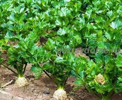 Сельдерей корневой: как провести посадку и обеспечить уход, чтобы был крупный, лучшие сорта диамант и другие, посев, выращивание в открытом грунте, к примеру на даче