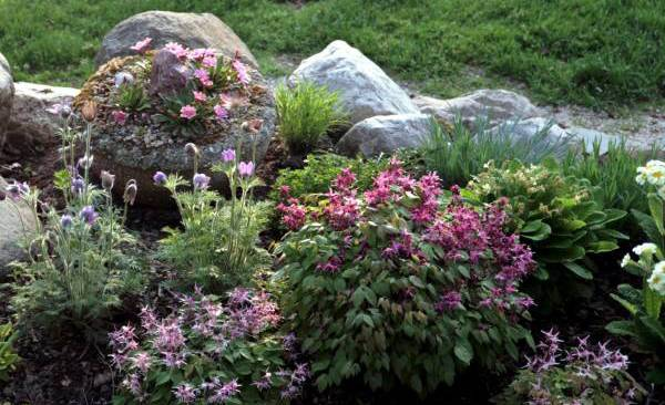 Растение эпимедиум / горянка: фото, виды, выращивание, посадка и уход