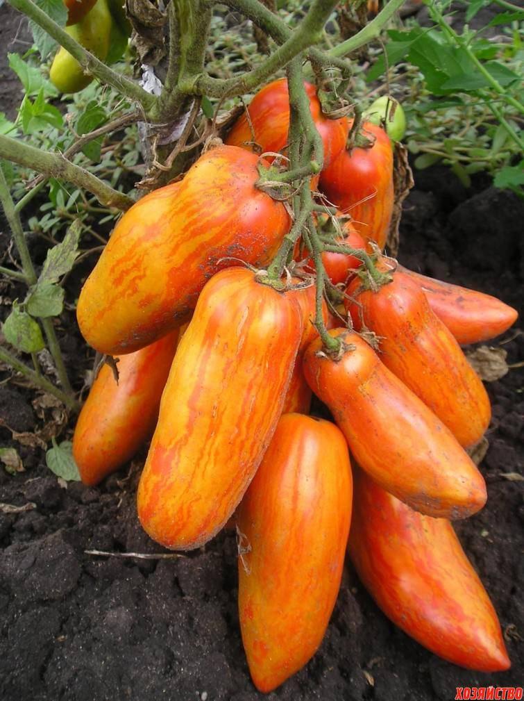 Описание сорта томата московский деликатес, особенности выращивания и ухода