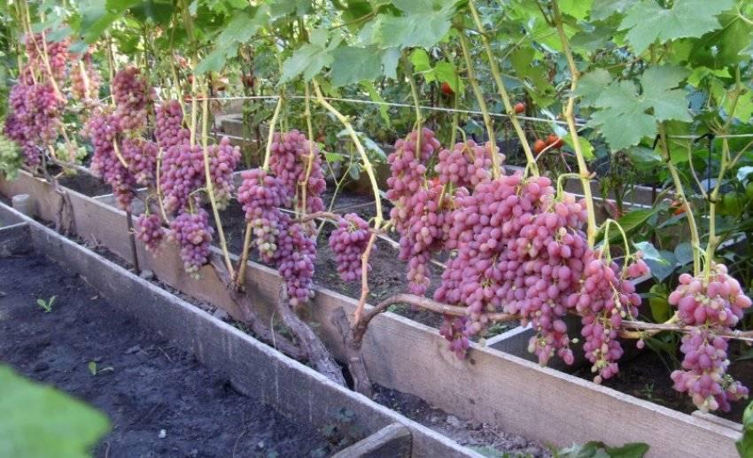 Молодой сорт винограда «роза ранняя»